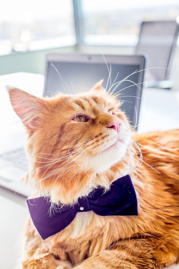Chat rouge magnifique avec le lien de papillon se reposant sur le Tableau blanc avec l'ordinateur portable dans son bureau images libres de droits