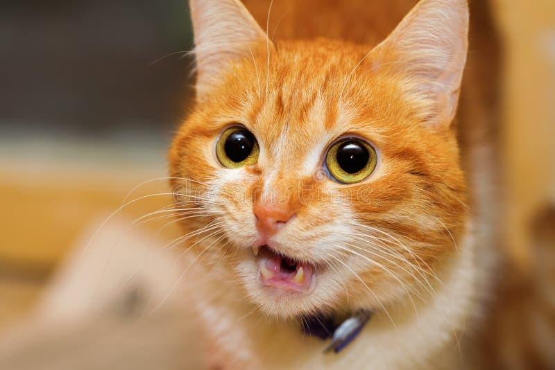 Chat rouge parlant image libre de droits