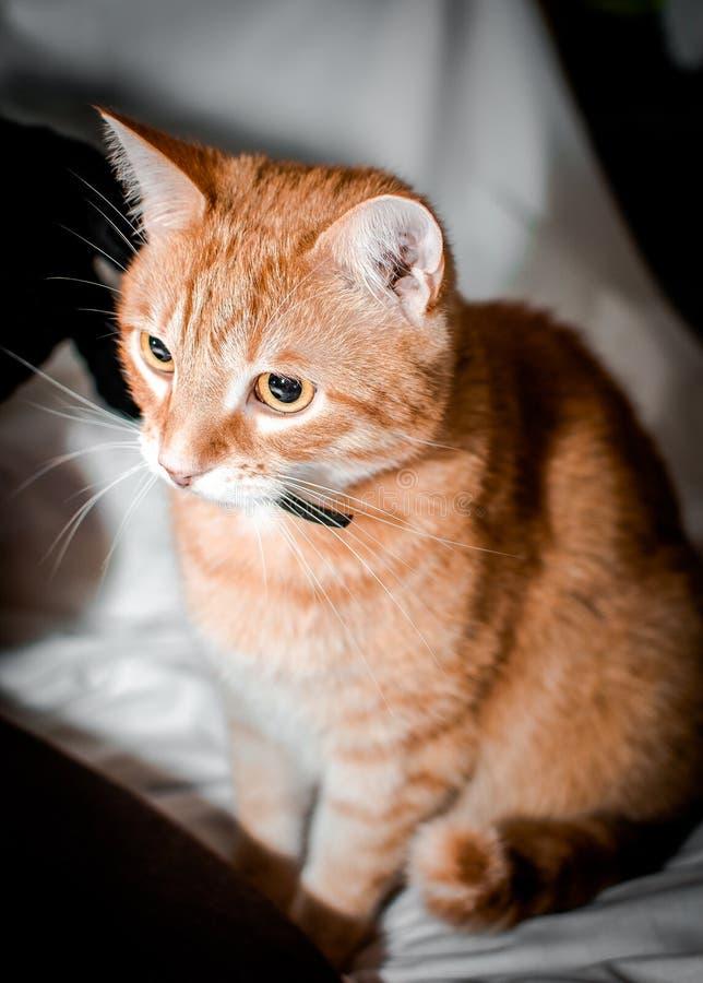 Chat rouge sage et calme images libres de droits