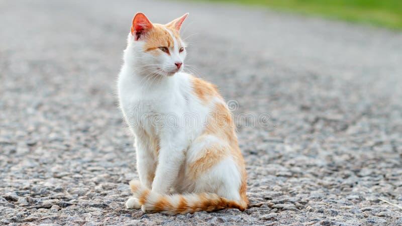 Chat rouge sans abri se reposant sur la route goudronnée chaude Le chat égaré a tourné sa tête et regards attentivement au côté C photos stock