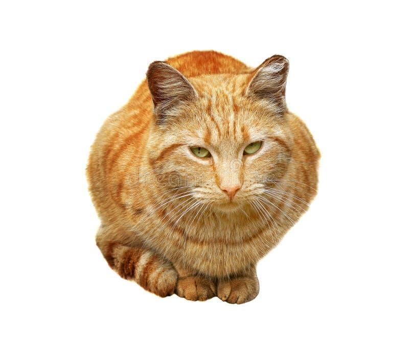 Chat rouge se reposant entre ses jambes et pattes d'isolement sur le fond blanc images stock