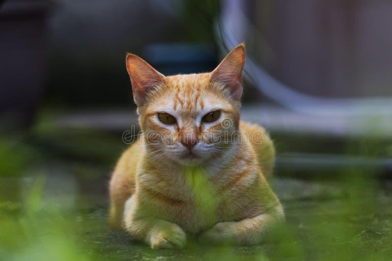 Chat rouge sur l'herbe verte dans la cour de maison de campagne Repos de chat de gingembre Chat orange drôle avec l'expression ar photos libres de droits