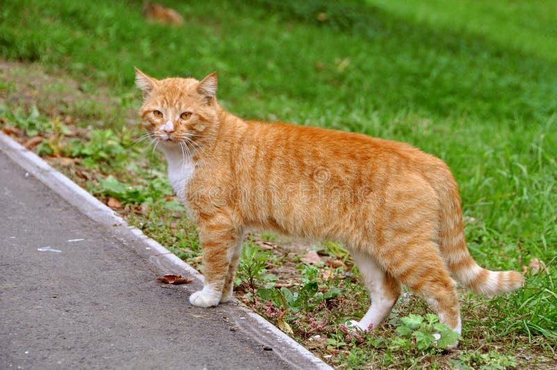 Chat rouge sur la route image stock
