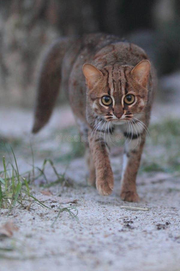 chat Rouillé-repéré photo stock