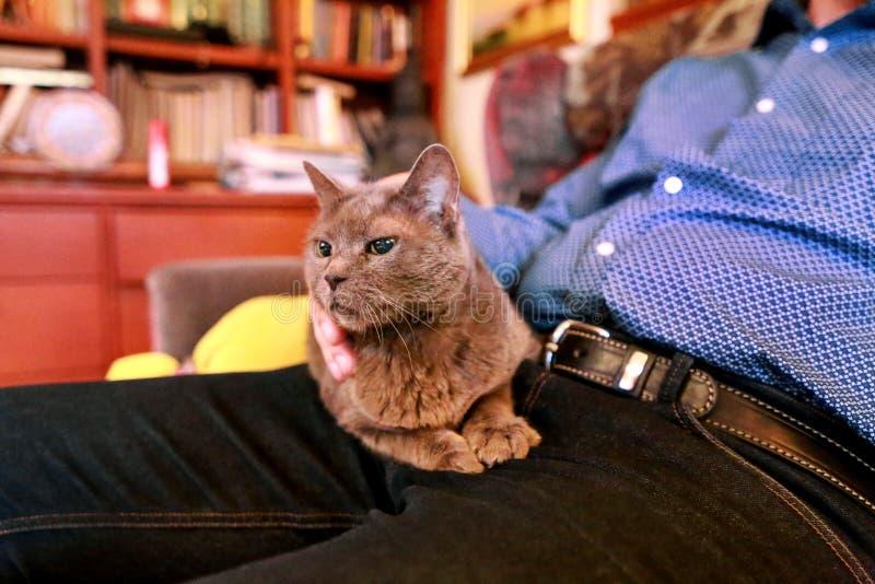 Chat russe bleu détendant, se trouvant et appréciant étant caressé, choyant et ronronnant sur son propriétaire de recouvrement à  image libre de droits