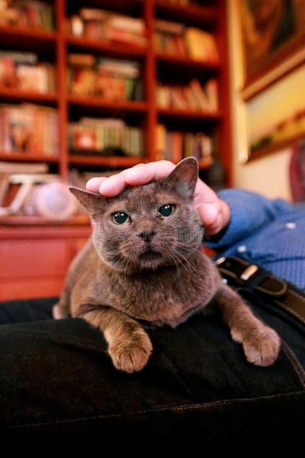 Chat russe bleu détendant, se trouvant et appréciant étant caressé, choyant et ronronnant sur son propriétaire de recouvrement à  photo libre de droits