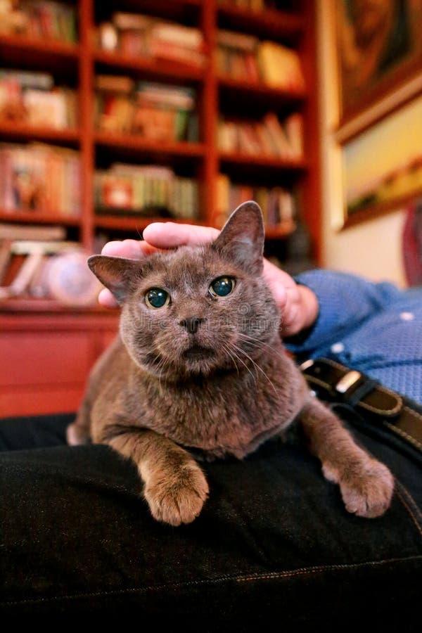 Chat russe bleu détendant, se trouvant et appréciant étant caressé, choyant et ronronnant sur son propriétaire de recouvrement à  image stock