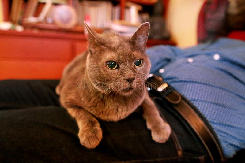 Chat russe bleu détendant, se trouvant et appréciant étant caressé, choyant et ronronnant sur son propriétaire de recouvrement à  photographie stock libre de droits