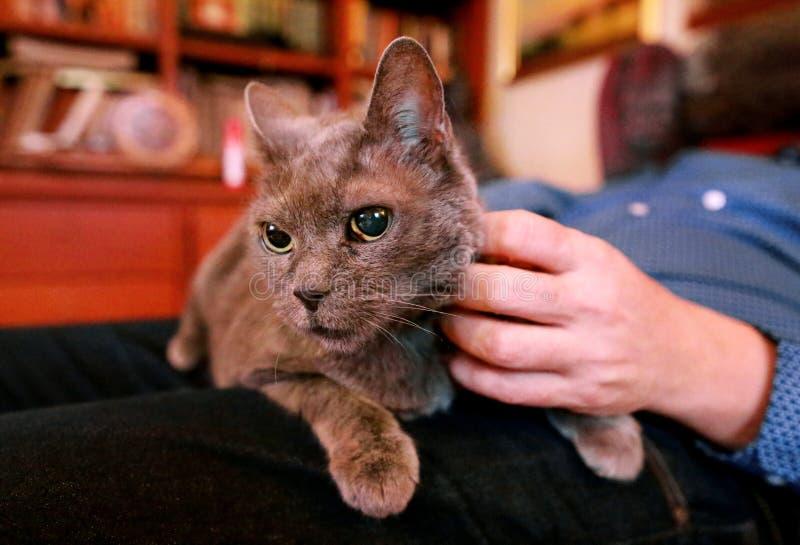 Chat russe bleu détendant, se trouvant et appréciant étant caressé, choyant et ronronnant sur son propriétaire de recouvrement à  photographie stock