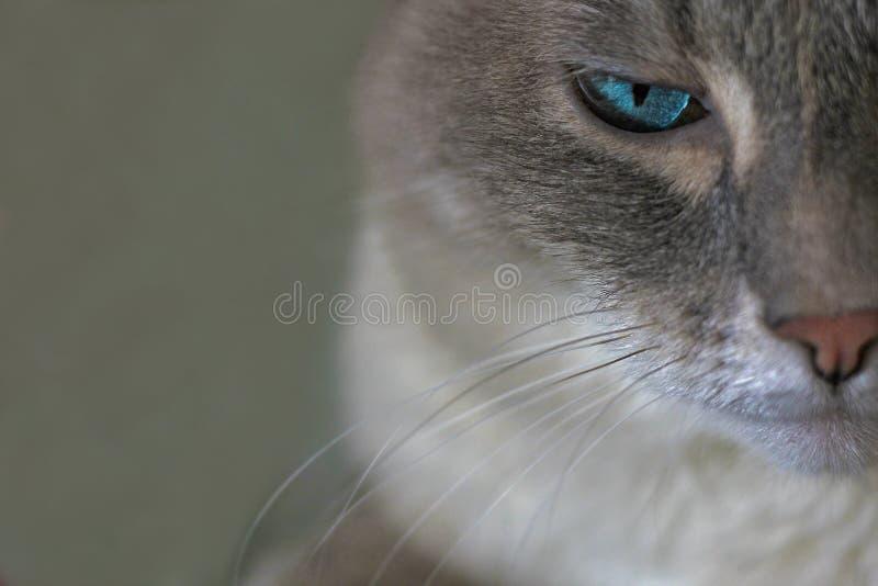 Chat sérieux gris, oeil photographie stock libre de droits
