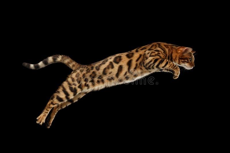 Chat sautant du Bengale sur le fond d'isolement par noir photographie stock