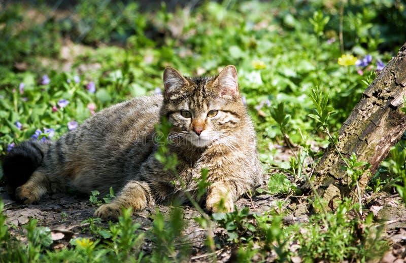 Chat sauvage images libres de droits