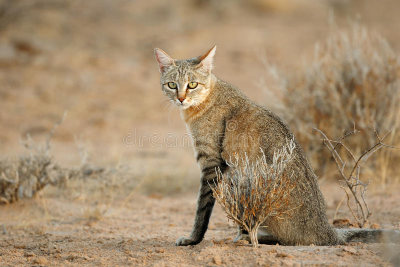 Chat sauvage africain photographie stock libre de droits