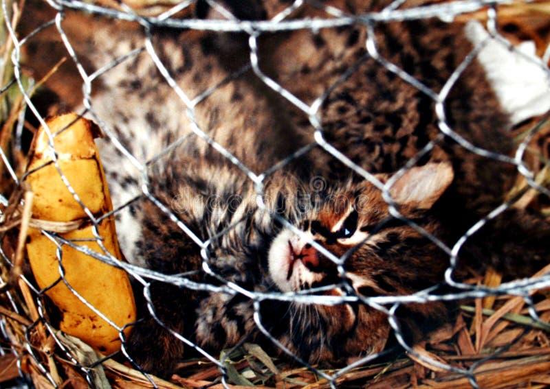 Chat sauvage dans la cage images libres de droits