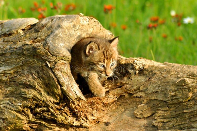 Chat sauvage de chéri sortant d un logarithme naturel