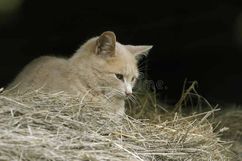 Chat sauvage de ferme dans la grange photos stock