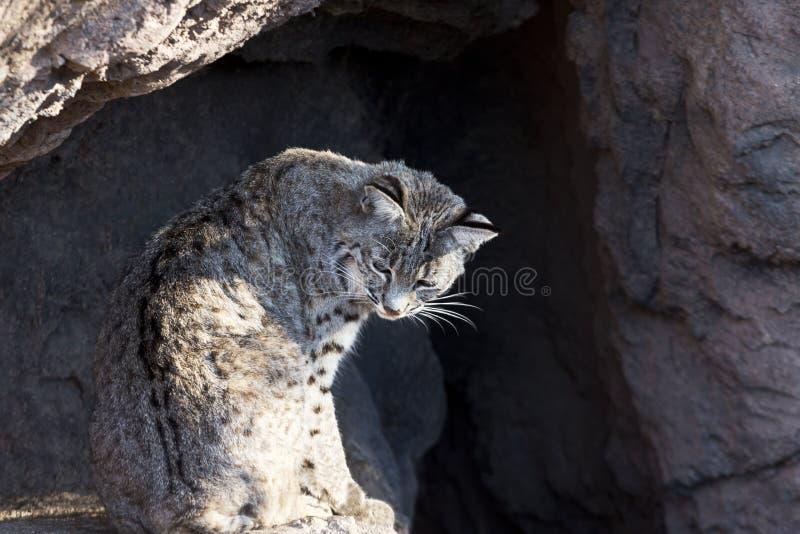 Chat sauvage de musée de désert de Sonora de l'Arizona photos stock