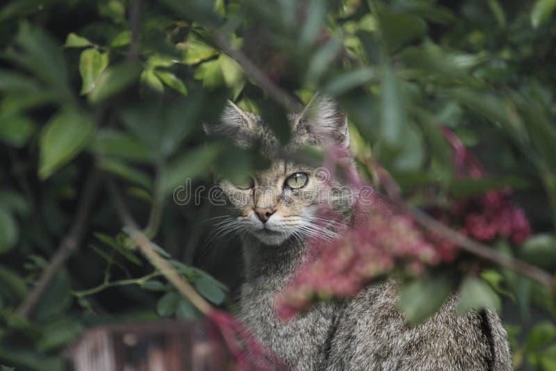 Chat sauvage en parc de faune image stock