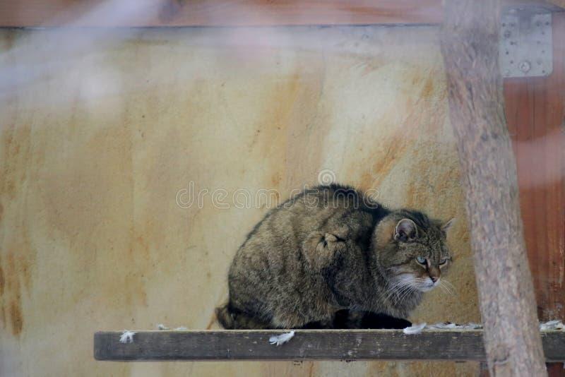 Chat sauvage européen grincheux (silvestris de silvestris de Felis) se reposant sur un conseil images libres de droits