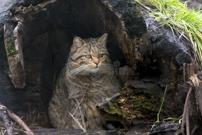Chat sauvage européen (silvestris de Felis) photo stock