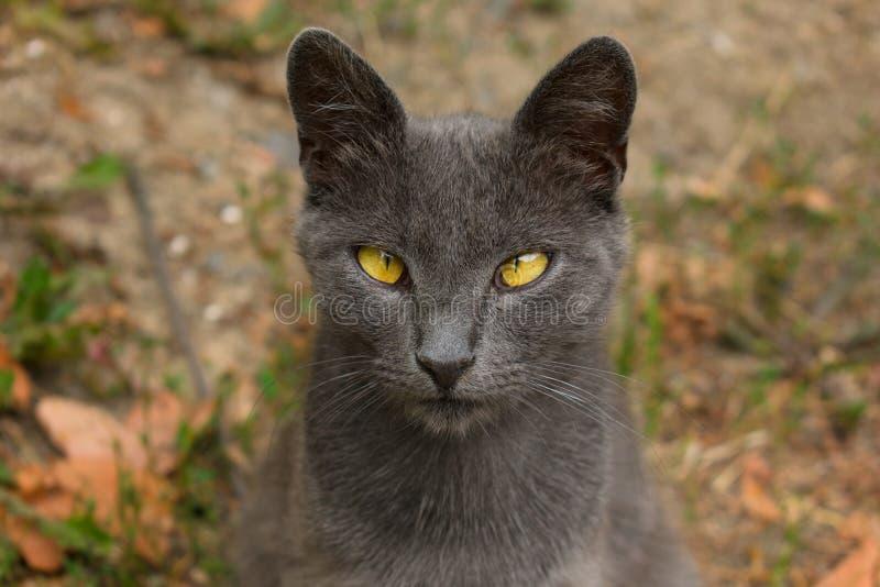 Chat sauvage gris avec un regard étroit Le grand plan photos libres de droits