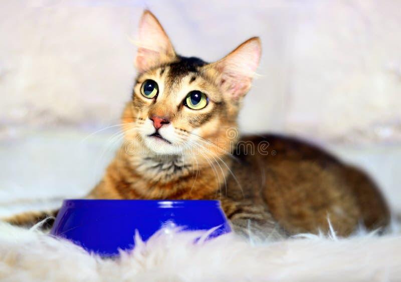 Chat se reposant près du bol bleu de nourriture images stock