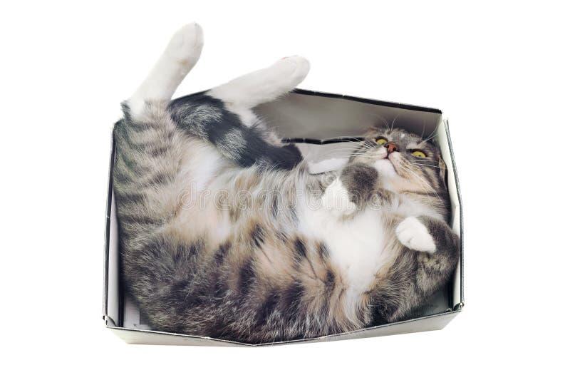 Chat se situant dans la boîte sur le fond blanc photos libres de droits