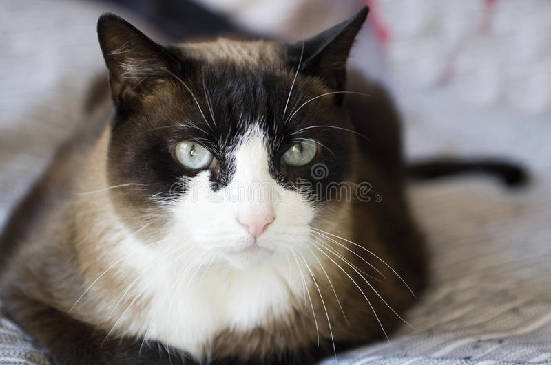 chat siamois de Grincheux-race photo stock