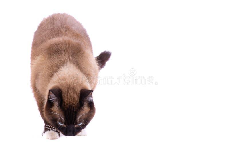 Chat siamois de raquette de brun de portrait marchant et sentant le plancher D'isolement sur le blanc image stock