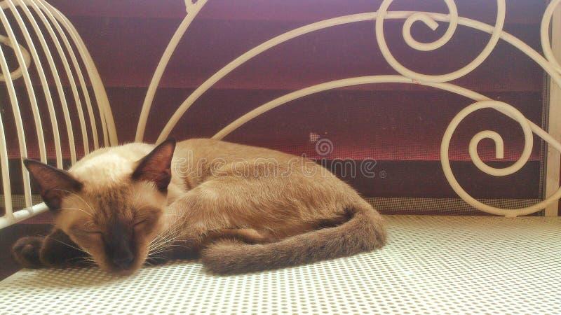Chat siamois de sommeil photo stock