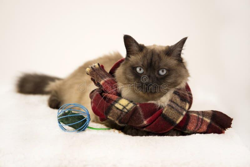 Chat siamois de tai, écharpe knited de port, s'étendant dehors dans la neige en hiver, près du jouet de souris La publicité des j photographie stock