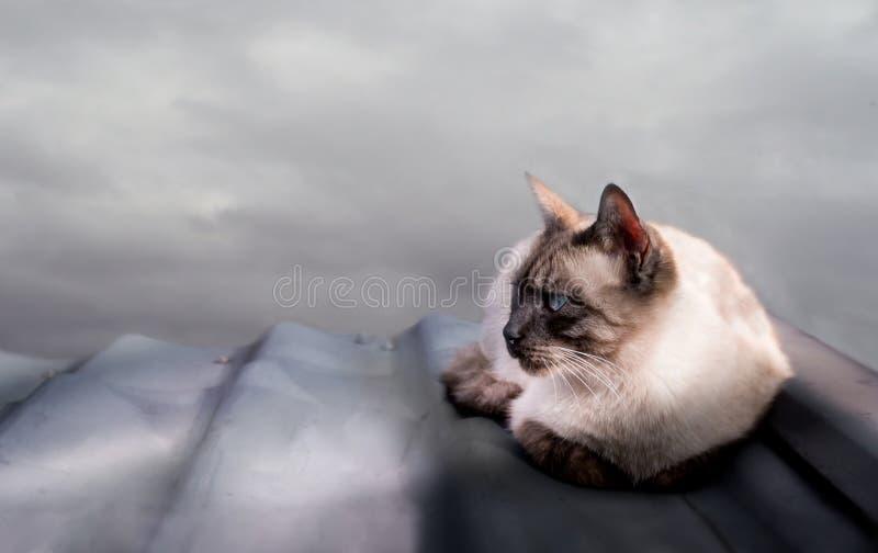 Chat siamois se trouvant sur le toit carrelé du ciel images stock