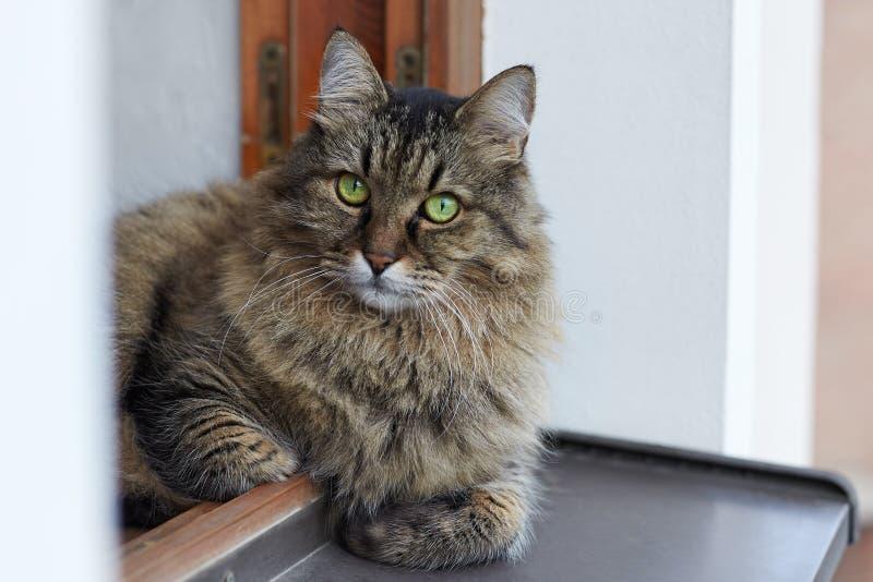 Chat sibérien aux cheveux longs des lais tebby de couleur sur la fenêtre de la fenêtre, du plancher de la maison, grand supérieur photographie stock libre de droits