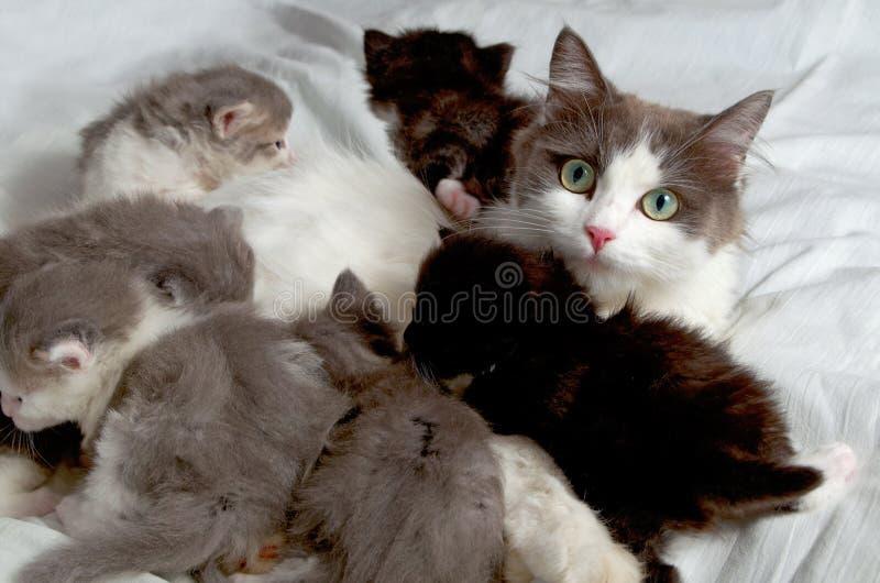 Chat sibérien avec des chatons photo stock