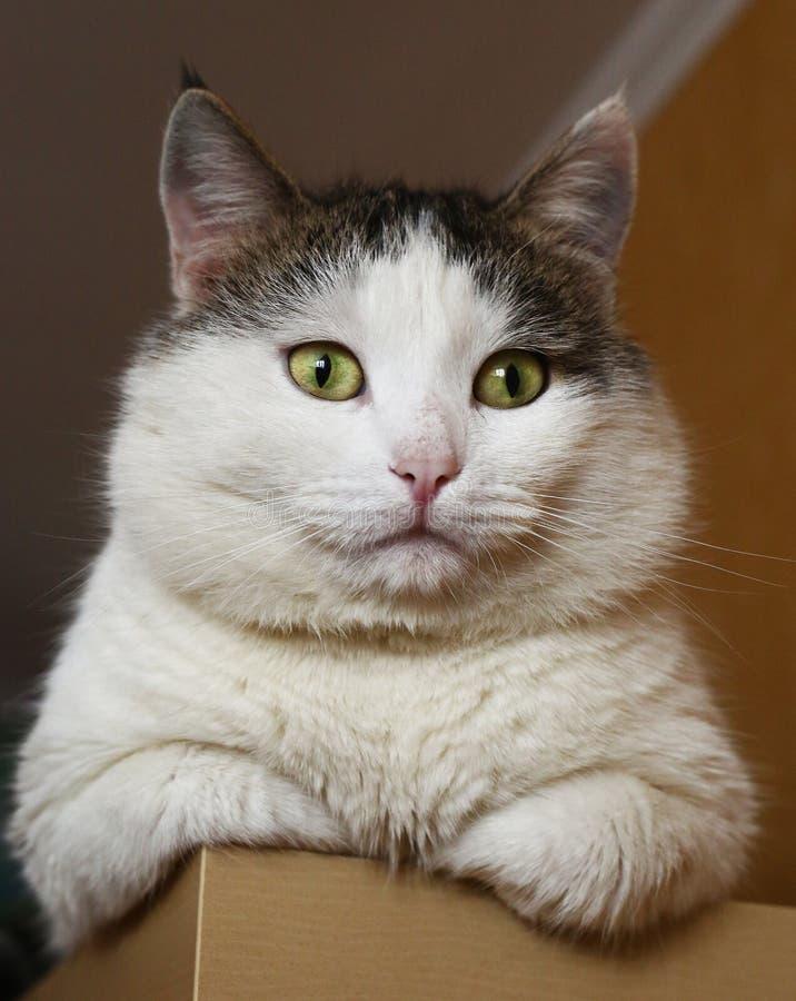Chat sibérien de sembler arrogant le gros se reposent sur le placard photo stock