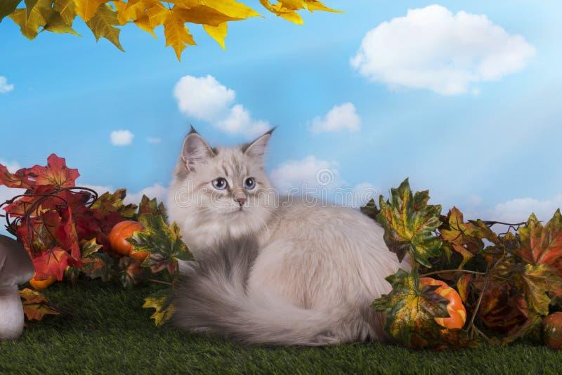 Chat sibérien sur l'herbe avec des feuilles d'automne photos libres de droits