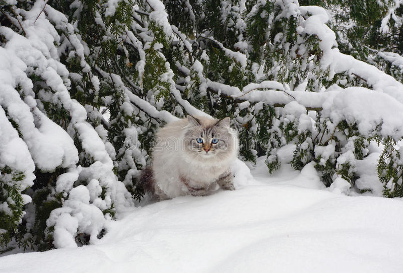Chat sibérien sur la promenade en hiver photos stock