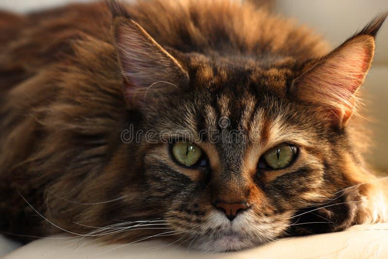 Chat somnolent sérieux de principal-ragondin avec les yeux verts et laine multicolore sur le fond blanc Chat romantique images libres de droits