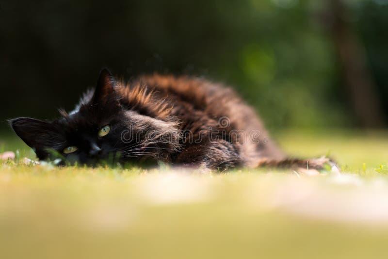 Chat somnolent sur l'herbe d'été image stock