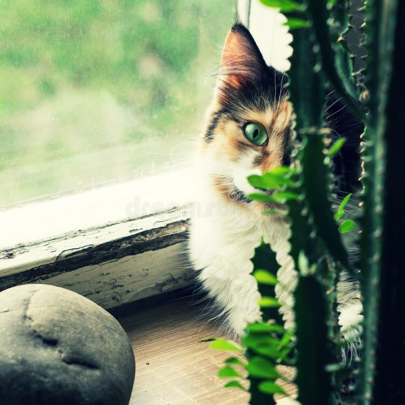 Chat sur le rebord de fenêtre derrière un cactus photo libre de droits