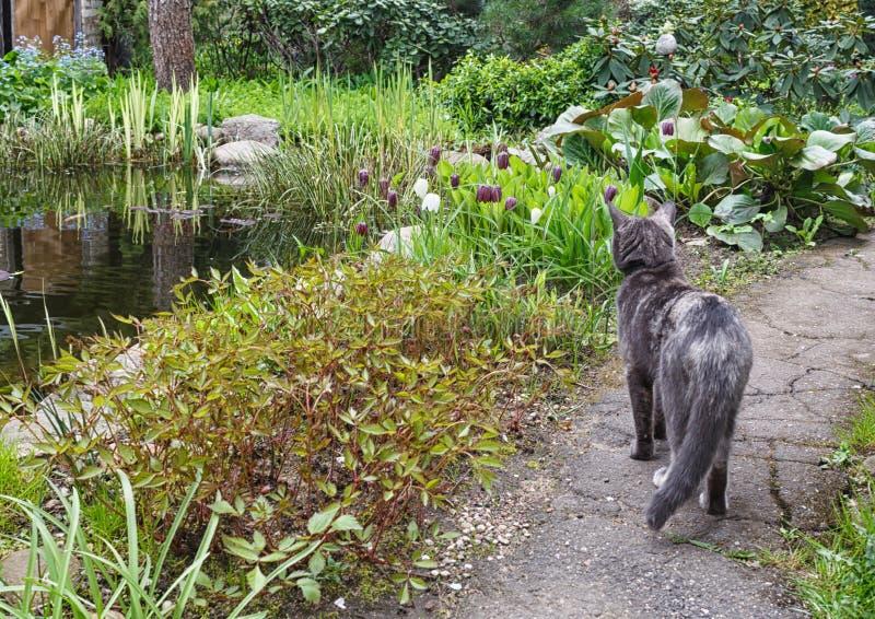 Chat sur un chemin de jardin regardant des fleurs image libre de droits