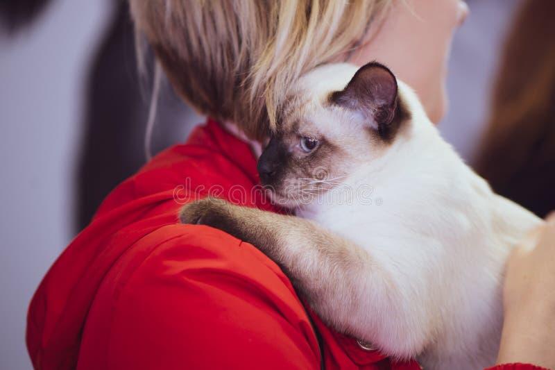 Chat thaïlandais dans les mains du propriétaire, exposition d'animal familier photo libre de droits