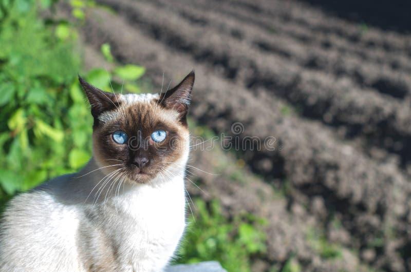 Chat thaïlandais se reposant sur le fond du jardin images stock