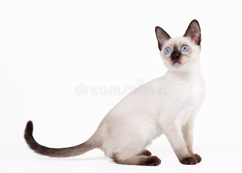 Chat thaïlandais sur le fond blanc photographie stock