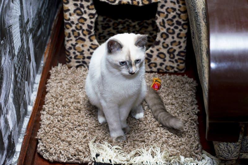 Chat thaïlandais triste avec des yeux bleus photographie stock libre de droits