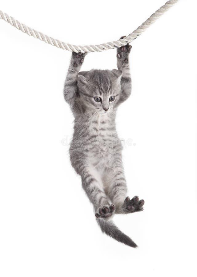 Chat tigré accrochant sur la corde images stock