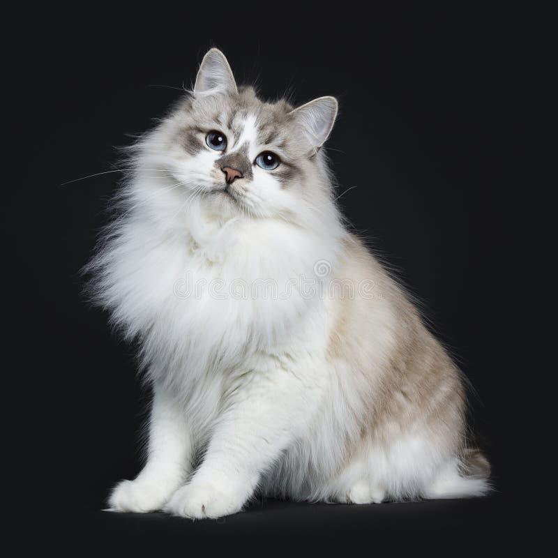 Chat tigré bleu adulte assez jeune de Neva Masquerade de point photo libre de droits