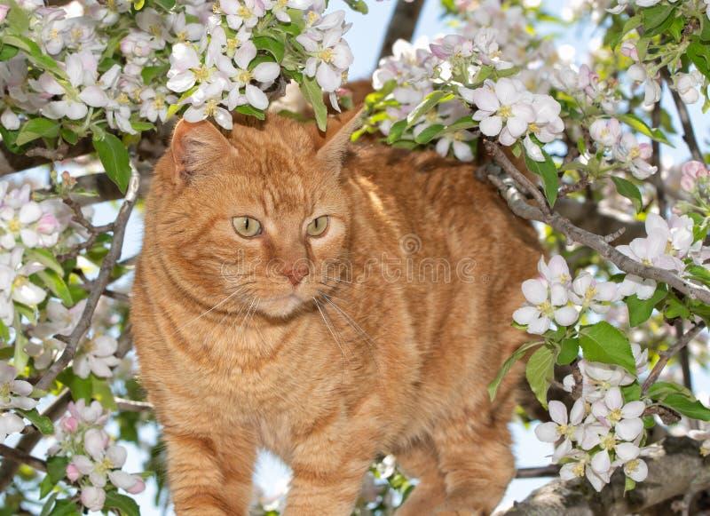 Chat tigré de gingembre sur une aventure dans un pommier fleurissant au printemps photo stock