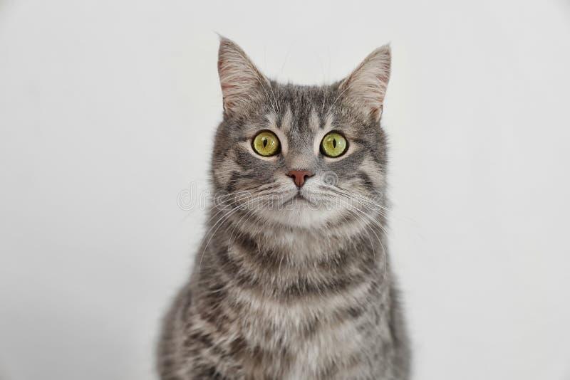Chat tigré gris adorable photo stock