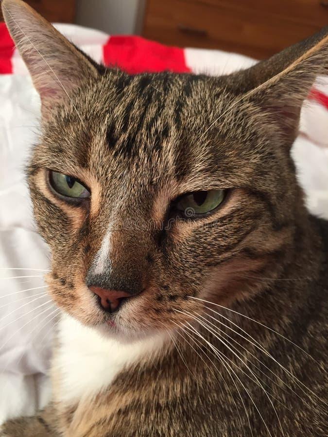 Download Chat Tigré Masculin Avec Les Yeux Verts Image stock - Image du yeux, vert: 87706987